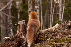 Red fox. Looking away from camera Royalty Free Stock Photo