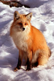 Red Fox 13. Red Fox laying in the sun on cold winter day Stock Images