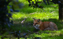 Free Red Fox Royalty Free Stock Images - 13164999