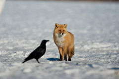 Red Fox. Adult Red Fox Standing in Snowy Field with Silhouette of Crow royalty free stock photography