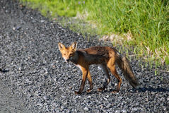 Red Fox. Picture of a skinny Red Fox on the side of the road Royalty Free Stock Photos