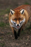 Red Fox. Vertical shot of a red fox walking towards the camera with a natural looking background Royalty Free Stock Photography