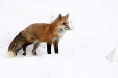 Red Fox. On snow in winter Royalty Free Stock Photo
