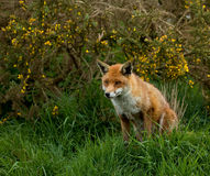 Red Fox. Adult Red Fox pictured in southern England Stock Image