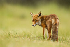 Red fox. A Red Fox posing in the dunes stock images