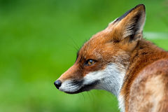 Red Fox. This is a young fox illustrated ai the \Oostvaardersplassen\ in Holland Royalty Free Stock Photo