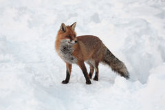 RED FOX. On the snow. Animal in to the wild. Italian Alps Stock Image