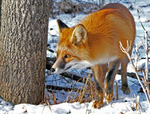 Red Fox. By a tree. Watchful look. Winter. Russian Far East Royalty Free Stock Image
