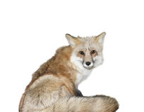 Free Red Fox Royalty Free Stock Photography - 17776907