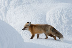 Red Fox. Adult Red Fox Strolling Among Snow Covered Mounds Stock Photos