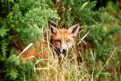 Red Fox. A common red fox laying in the grass Royalty Free Stock Images