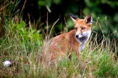 Red Fox. A common red fox sitting in long grass Royalty Free Stock Image