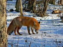 Red Fox 19. The red fos is eating a mouse. Winter, snow, evening. Russian Far East, Primorsky Region Royalty Free Stock Images