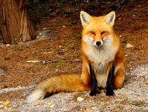 Red Fox. Of Island State Beach Park, NJ USA Royalty Free Stock Photos