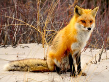 Red Fox. Of Island State Beach Park, NJ USA Stock Photography