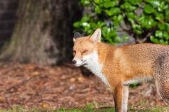 Red Fox 2 Stock Photos