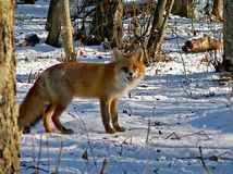 Red Fox 20. The red fos is eating a mouse. Winter, snow, evening. Russian Far East, Primorsky Region Royalty Free Stock Photos