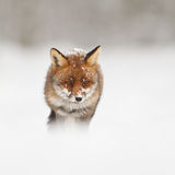 Red fox. A red fox in the snow Royalty Free Stock Photography