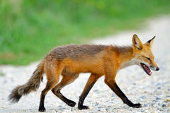Red Fox. Walking along road looking tired Royalty Free Stock Photo