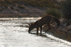 Red fox. A red fox in the dunes is drinking water Stock Photos