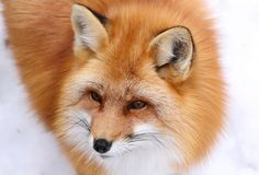 Red fox. Face of red fox in nature Royalty Free Stock Photography