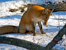 Red Fox 22. The tired red fox sits on snow. The snout is with snow and drops of water. Russian Far East, Primorye Stock Photography