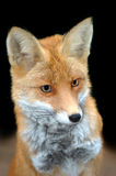 Red fox. Close up portrait of a red fox Royalty Free Stock Photography