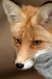 Red fox. Close up portrait of a red fox Royalty Free Stock Images