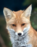 Red fox. Close up portrait of a red fox Royalty Free Stock Photo
