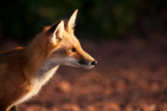 Red fox. In Prince Edward Island national park Royalty Free Stock Photo
