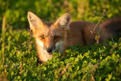 Red fox. In Prince Edward Island national park Royalty Free Stock Photos