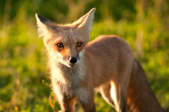 Red fox. In Prince Edward Island national park Stock Photo
