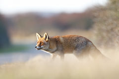 Red fox. A red fox posing in the dunes Royalty Free Stock Images