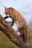 Red fox. A red fox climbing up a tree royalty free stock images