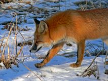 Red Fox 23 Royalty Free Stock Image