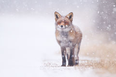 Red fox. A red fox in the snow Royalty Free Stock Image