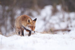 Red fox. A red fox in the snow Stock Photography