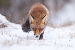 Red fox. A red fox in the snow Royalty Free Stock Photo