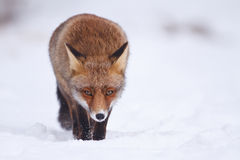 Red fox. A red fox in the snow Stock Photos