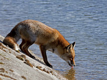 Red fox. Drinking water at a water channel Stock Photography