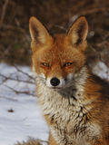 Red fox. Closeup red fox in the dunes in the snow Royalty Free Stock Image