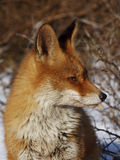 Red fox. Closeup red fox in the dunes in the snow Royalty Free Stock Photography