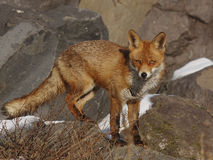 Red Fox. In the dunes on the rocks Royalty Free Stock Photos