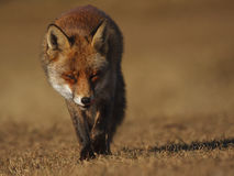 Red Fox. Walking on the grass Royalty Free Stock Photos
