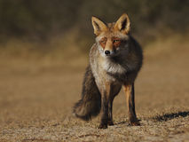 Red Fox. In the dunes Stock Image