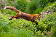 Free Red Fox Stock Photo - 23672330