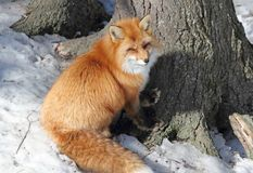 Red fox. In nature during winter Royalty Free Stock Images
