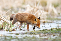 Red fox. A wild fox walking through water in nature Royalty Free Stock Photo