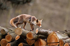 Red fox. A red fox (vulpes vulpes) walking on a pile of logs Royalty Free Stock Image