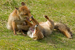 Red fox. Two Red foxes fighting scene Stock Photo